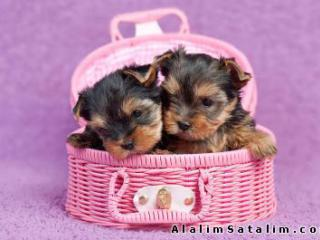 Yorkie_Kopek_Kennel