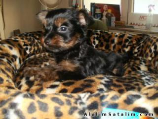 satilik_yavru_yorkshire_terrier